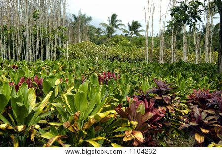 Tropical Plantation