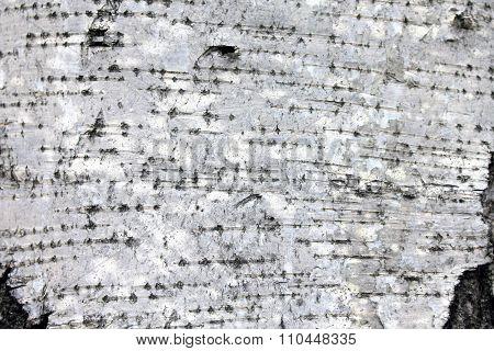 White birch bark, closeup natural texture background