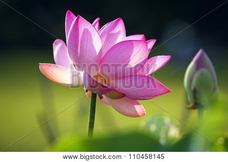 Lotus, Nelumbo nucifera Gaertn