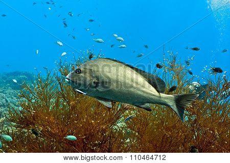 Silwer sweetlips fish