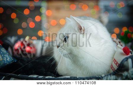 Beautiful Christmas British Cat.