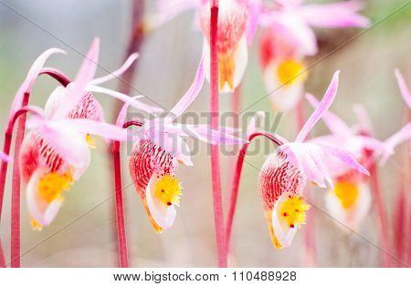 Flowering Fairy Slipper Calypso Bulbosa