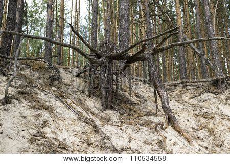 Wrested Roots Of Large Tree In The Sand In Forest