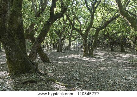 The sycamore grove