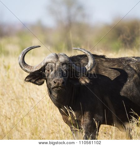 African Buffalo In Kruger National Park
