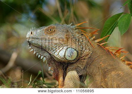 Male Iguana - Costa Rica