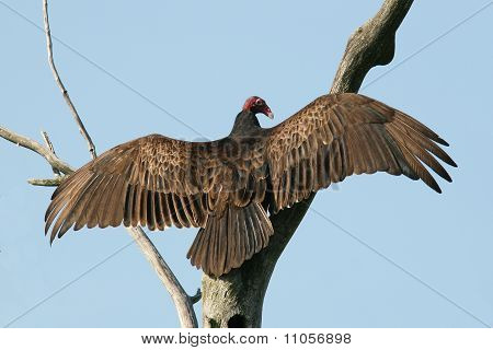 Turkey Vulture (Cathartes aura) spreading its wings