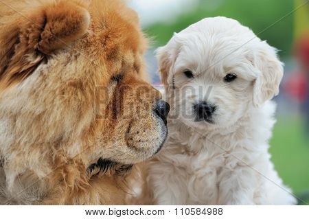 Baby Swiss Shepherd And Brown Chow Chow