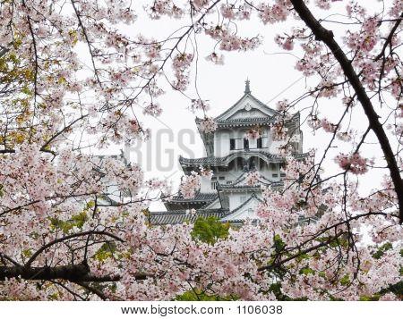 Himeji-jō während Sakura