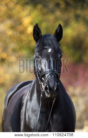 black horse portrait outside with colorful autumn leaves in background.