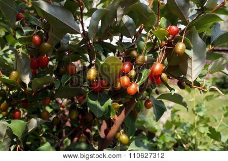 Goji Berries on a Bush