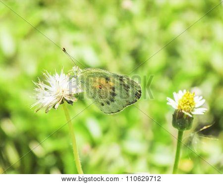 Green Butterfly On A Wild Flower.