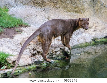 Fossa (Cryptoprocta ferox) is standing near river