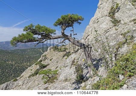 Relict Pine On A Steep Mountain Slope.