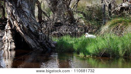 Pekin Duck in the Wetlands