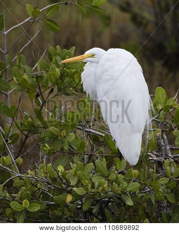 Great Egret Perched In A Mangrove - Florida