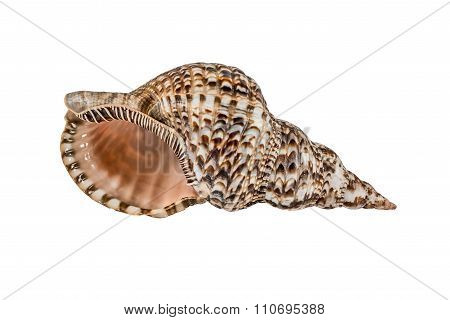 Marine Sea Shell. Isolated On White Background.