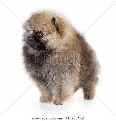 Pomeranian Puppy On A White Background