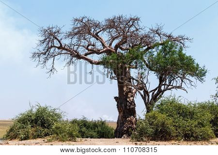 Majestic Baobab Tree