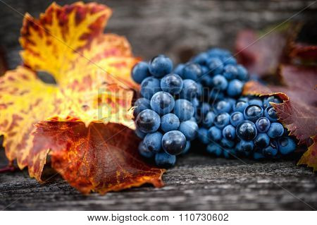 Autumn Harvest At Vineyard With Fresh, Bio Red Grapes. Autumn Theme Or Background With Grapes