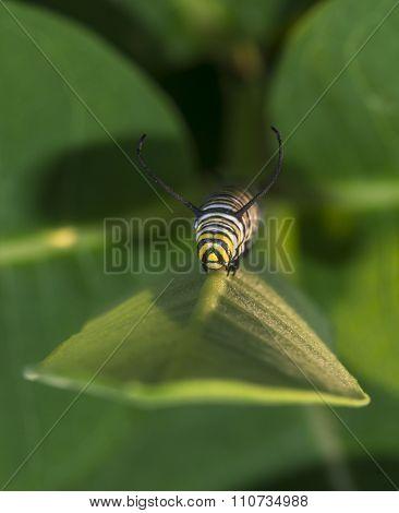 Monarchn Caterpillar, Larval, Lepidoptera