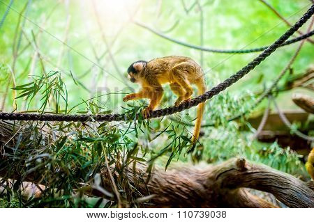 Squirrel Monkey In Natural Habitat, Rainforest And Jungle, Playing and moving