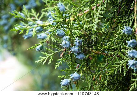 Juniper blueand green.