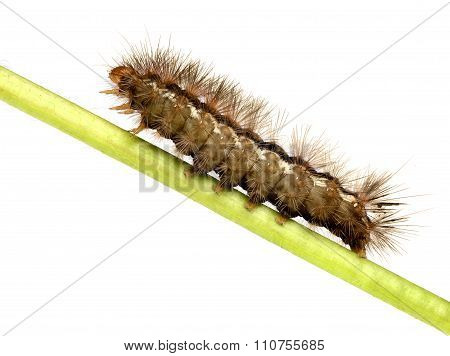 Side view of pest brown caterpillar isolated on white