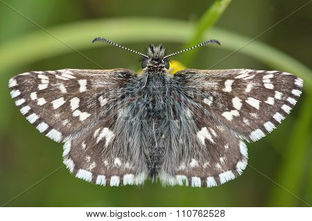 Grizzled skipper (Pyrgus malvae) butterfly