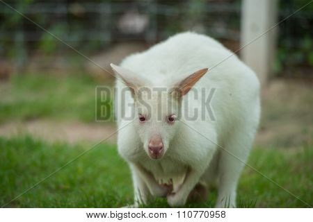Kangaroo In The Garden