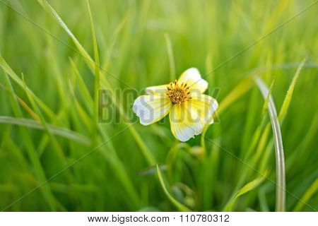 Small daisy in a grass field - shallow DOF