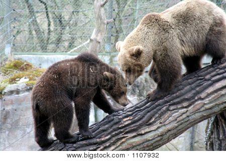 Brown Bears Kissing, Skansen Park, Stockholm, Sweden