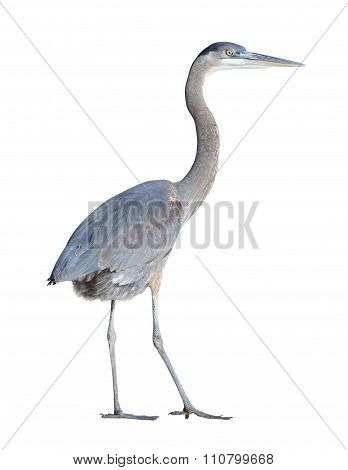 Great Blue Heron With Clipping Path
