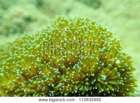 Coral polyp, Galaxea