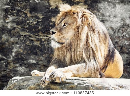 Barbary Lion Portrait (panthera Leo Leo), Lion King