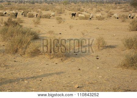 Flock of sheep in the desert