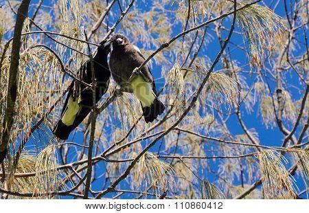 Australian Magpies: Don't Pick on Me!