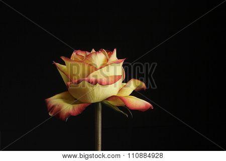 Yellow-pink Rose On Black