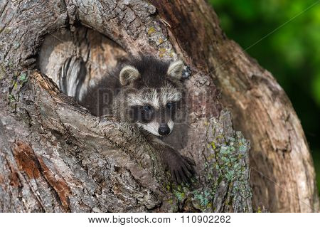 Young Raccoon (procyon Lotor) Paws Out Knothole