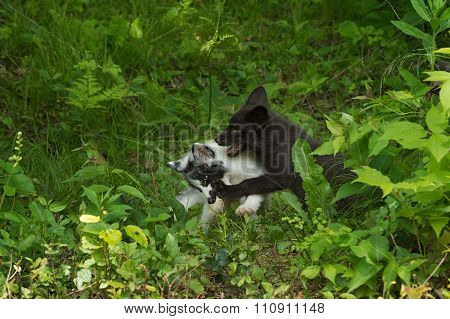 Marble And Silver Fox (vulpes Vulpes) Tussle