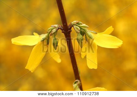 Blooming Forsythia - branch with flowers flicker in the wind at spring day