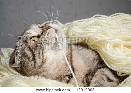 Scottish Fold Tangled In Yarn And Plays Nibbling Thread