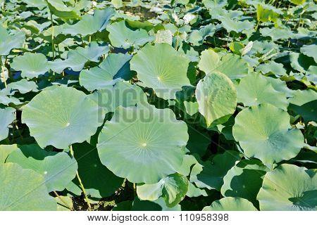 Lotus Leaves On A Pond Filling Frame