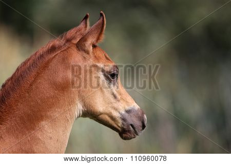 Head Shot Of An Arabian Horse On Natural Background