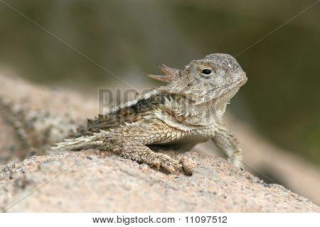 Desert Horned Lizard (Phrynosoma platyrhinos) on a rock in the Sonoran Desert, southern Arizona poster