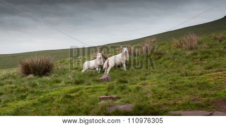 Welsh lambs in Brecon