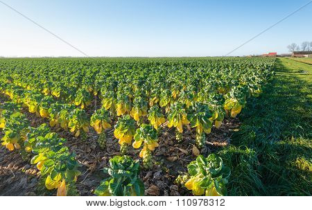 Border Of A Large Field With Cultivation Of Brussels Sprouts