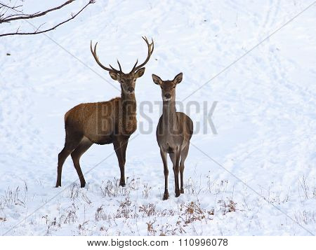 Yung Red Deer And Fawn  In Snow
