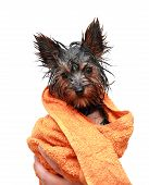 Little wet Yorkshire terrier with orange towel after the bath poster
