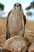 a hawk looks straight ahead while perched on a rock poster